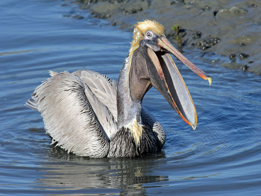awesome pelican